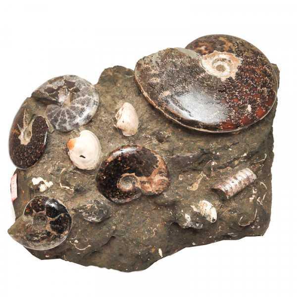 Ammoniten und Muscheln im Muttergestein